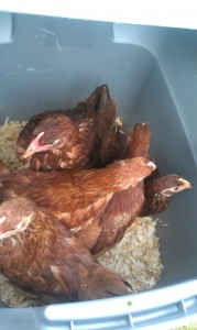 Rhode Island Reds in a container headed to new home